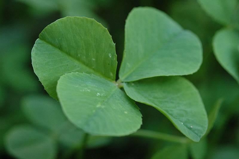 c954a612a2da Trébol de 4 hojas como amuleto de buena suerte - Innatia.com